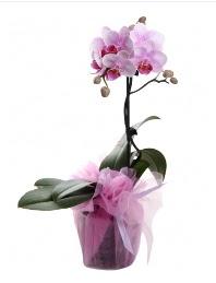 1 dal pembe orkide saksı çiçeği  Burdur kaliteli taze ve ucuz çiçekler