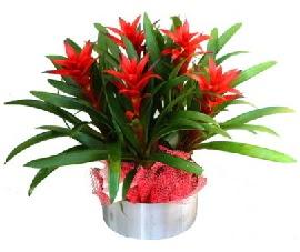 5 adet guzmanya saksı çiçeği  Burdur çiçek gönderme sitemiz güvenlidir