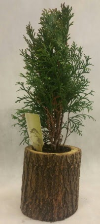 SINIRLI STOK Selvi Bonsai Doğal kütükte  Burdur İnternetten çiçek siparişi