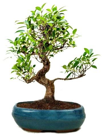 25 cm ile 30 cm aralığında Ficus S bonsai  Burdur çiçek gönderme sitemiz güvenlidir