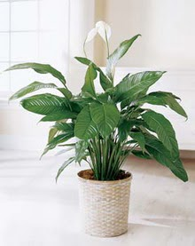 Burdur online çiçek gönderme sipariş  spatilyum ithal büyük boy