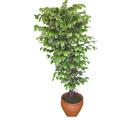 Ficus özel Starlight 1,75 cm   Burdur cicek , cicekci