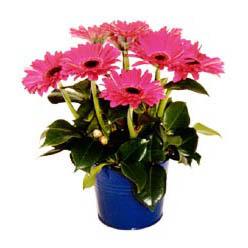 vazo içerisinde gerbera çiçekleri   Burdur online çiçek gönderme sipariş