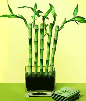 Burdur anneler günü çiçek yolla  Good Harmony Lucky Bamboo camda