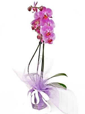Burdur anneler günü çiçek yolla  Kaliteli ithal saksida orkide