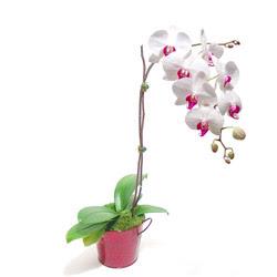 Burdur çiçek gönderme  Saksida orkide