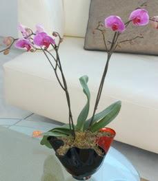 Burdur çiçekçi mağazası  tek dal ikili orkide saksi çiçegi