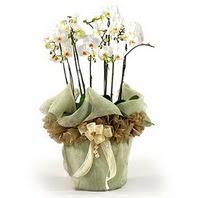 Burdur çiçek siparişi sitesi  3 dal orkide , saksi çiçegi , 3 kök orkide