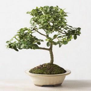 ithal bonsai saksi çiçegi  Burdur çiçek online çiçek siparişi