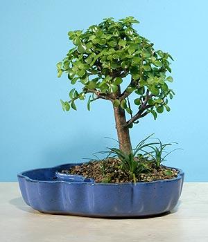 ithal bonsai saksi çiçegi  Burdur çiçekçiler