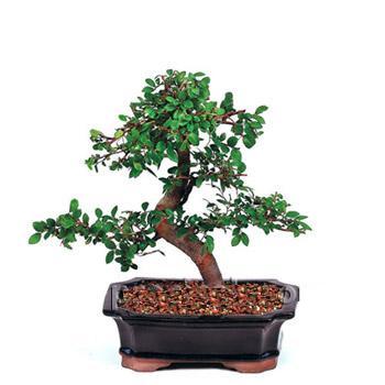 ithal bonsai saksi çiçegi  Burdur çiçek siparişi vermek