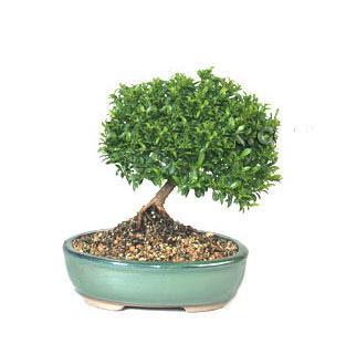 ithal bonsai saksi çiçegi  Burdur cicekciler , cicek siparisi