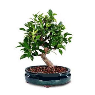 ithal bonsai saksi çiçegi  Burdur çiçek siparişi sitesi