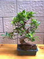 ithal bonsai saksi çiçegi  Burdur hediye sevgilime hediye çiçek