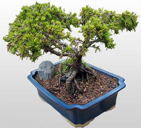 ithal bonsai saksi çiçegi  Burdur çiçekçi mağazası