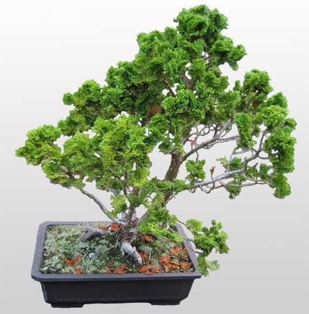 ithal bonsai saksi çiçegi  Burdur İnternetten çiçek siparişi