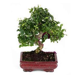 ithal bonsai saksi çiçegi  Burdur anneler günü çiçek yolla