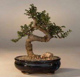 ithal bonsai saksi çiçegi  Burdur 14 şubat sevgililer günü çiçek