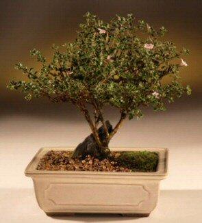 ithal bonsai saksi çiçegi  Burdur çiçek mağazası , çiçekçi adresleri