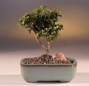 Burdur çiçek yolla  ithal bonsai saksi çiçegi  Burdur internetten çiçek satışı