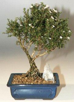Burdur çiçek , çiçekçi , çiçekçilik  ithal bonsai saksi çiçegi  Burdur online çiçek gönderme sipariş