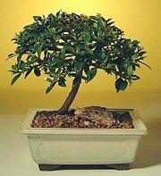 Burdur ucuz çiçek gönder  ithal bonsai saksi çiçegi  Burdur cicek , cicekci