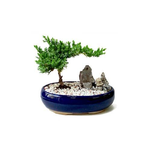 ithal bonsai saksi çiçegi  Burdur çiçek gönderme
