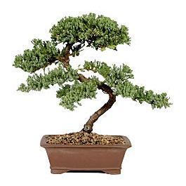 ithal bonsai saksi çiçegi  Burdur çiçek gönderme sitemiz güvenlidir