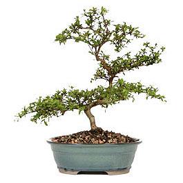Burdur İnternetten çiçek siparişi  ithal bonsai saksi çiçegi  Burdur çiçek gönderme sitemiz güvenlidir