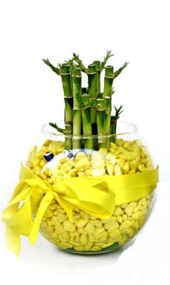 cam fanus içerisinde bambo  Burdur internetten çiçek satışı