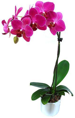 Burdur çiçekçi mağazası  saksi orkide çiçegi