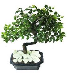 9 yasinda Bonsai agaci  Burdur yurtiçi ve yurtdışı çiçek siparişi