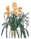Burdur çiçekçiler  Orchiede ithal büyük boy saksi