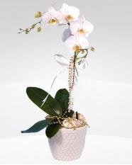 1 dallı orkide saksı çiçeği  Burdur online çiçekçi , çiçek siparişi