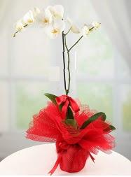 1 dal beyaz orkide saksı çiçeği  Burdur yurtiçi ve yurtdışı çiçek siparişi