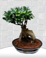 saksı çiçeği japon ağacı bonsai  Burdur kaliteli taze ve ucuz çiçekler