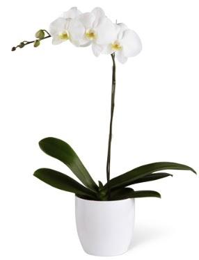 1 dallı beyaz orkide  Burdur 14 şubat sevgililer günü çiçek