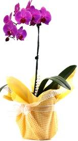 Burdur çiçek siparişi sitesi  Tek dal mor orkide saksı çiçeği