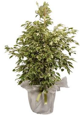 Orta boy alaca benjamin bitkisi  Burdur internetten çiçek satışı