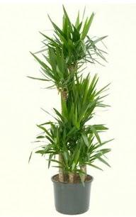 7 li yucca saksı bitkisi  Burdur çiçek servisi , çiçekçi adresleri