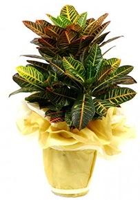 Orta boy kraton saksı çiçeği  Burdur 14 şubat sevgililer günü çiçek