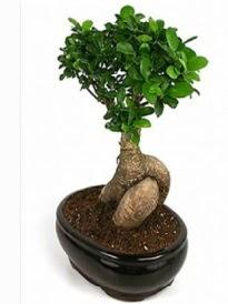 Bonsai saksı bitkisi japon ağacı  Burdur çiçek siparişi sitesi