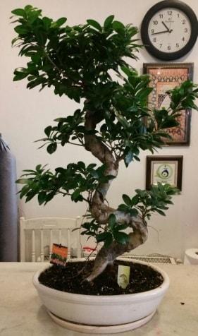100 cm yüksekliğinde dev bonsai japon ağacı  Burdur İnternetten çiçek siparişi