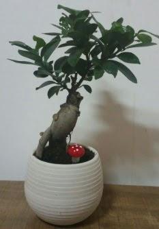 Bonsai japon ağacı saksı çiçeği  Burdur çiçek gönderme sitemiz güvenlidir
