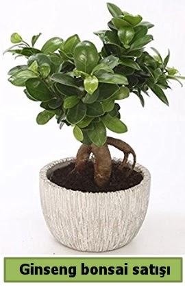 Ginseng bonsai japon ağacı satışı  Burdur çiçekçi telefonları