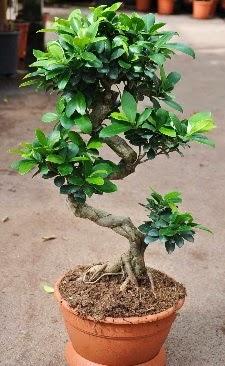 Orta boy bonsai saksı bitkisi  Burdur internetten çiçek siparişi