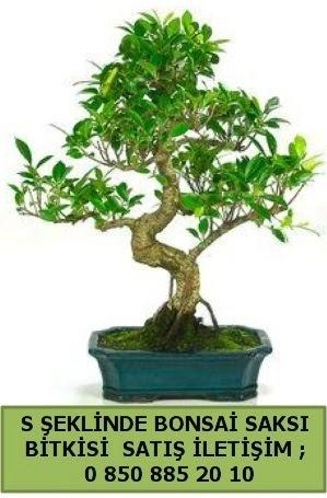 İthal S şeklinde dal eğriliği bonsai satışı  Burdur çiçek gönderme