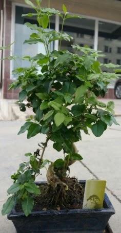 Bonsai japon ağacı saksı bitkisi  Burdur çiçek siparişi vermek