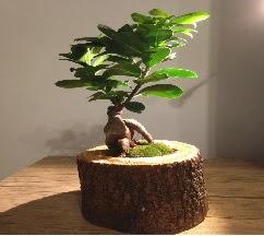 Doğal kütükte Bonsai japon ağacı satışı  Burdur internetten çiçek satışı