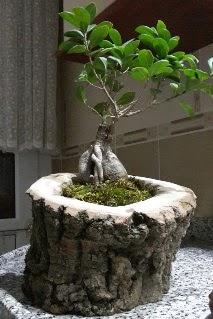 Ahşap kütük içerisinde ginseng bonsai  Burdur internetten çiçek siparişi